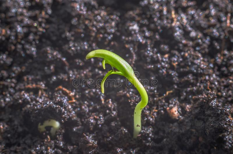 Green pepper seedlings. New concept of life. Green seedlings. New concept of life. Pepper began to grow royalty free stock photo