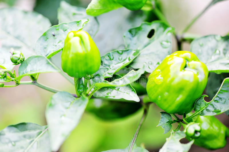 Download Green pepper tree stock image. Image of fresh, diet, green - 19788273