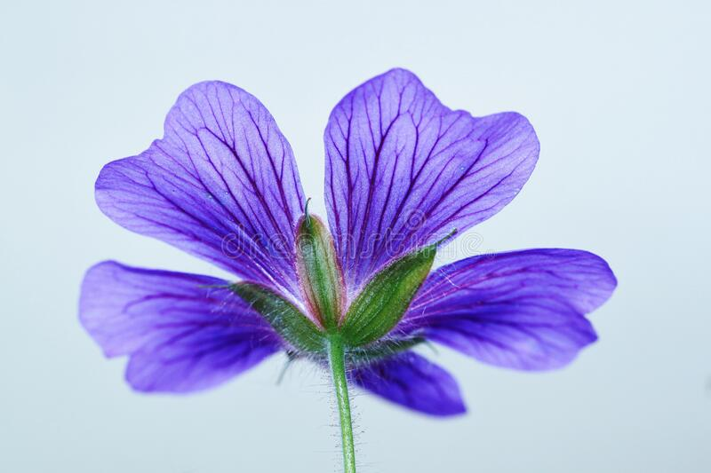 Green and 5 Petaled Purple Flower stock photography