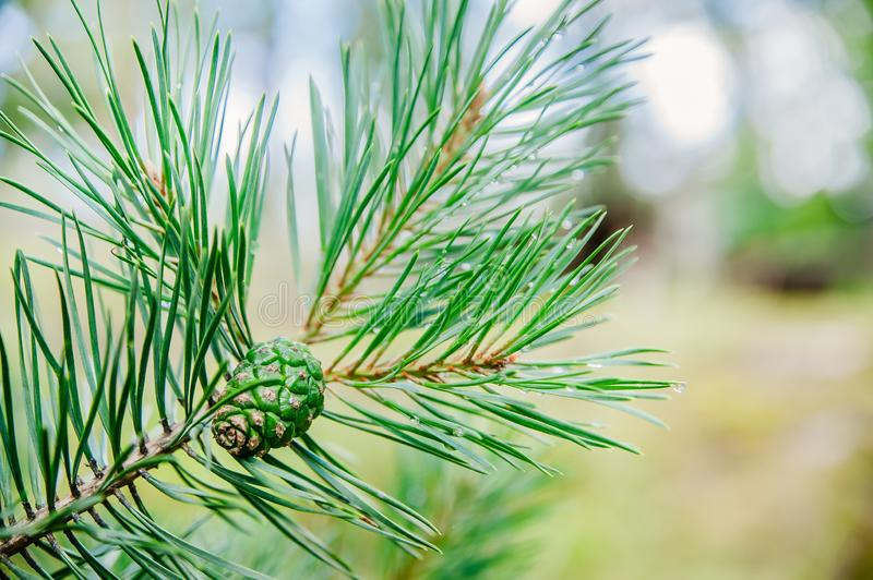 A green pine branch with a green cone royalty free stock images