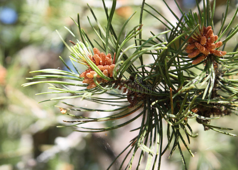 Green pine branch stock images