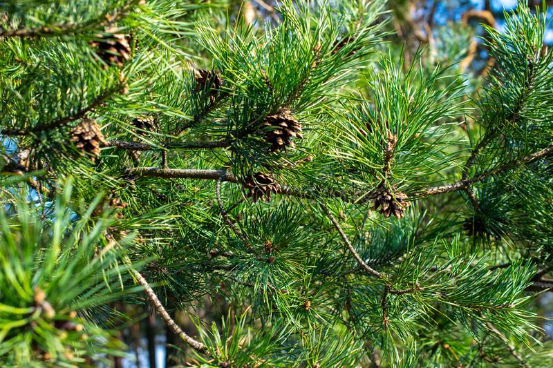 Green pine branches with cones royalty free stock images
