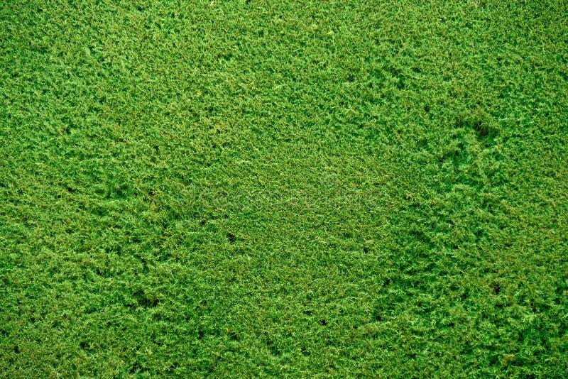 Green pine bush background. Green pine bush organic background straight plain cut stock photo