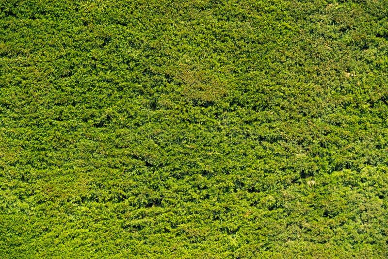 Green pine bush background. Green pine bush organic background straight plain cut royalty free stock images