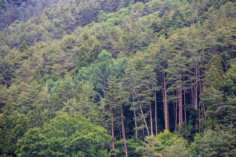 Green pine forest along the way to 5th station Mount Fuji JapanBeautiful green landscape forest jungle as viewed from Lake Kawaguc stock image