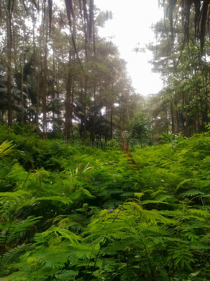 Green pine forest stock image