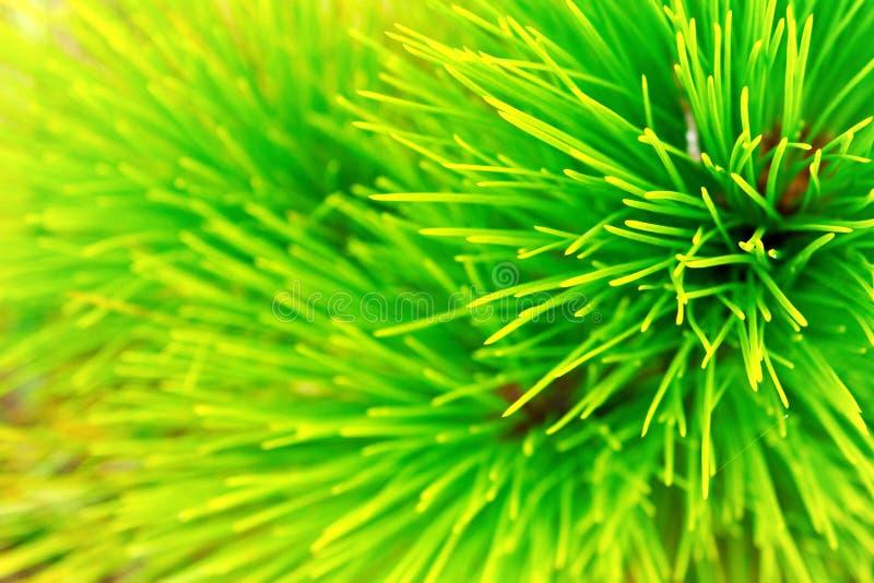 Green pine leaf. Close fresh green pine leaf on phu-kradueng national park Thailand royalty free stock image