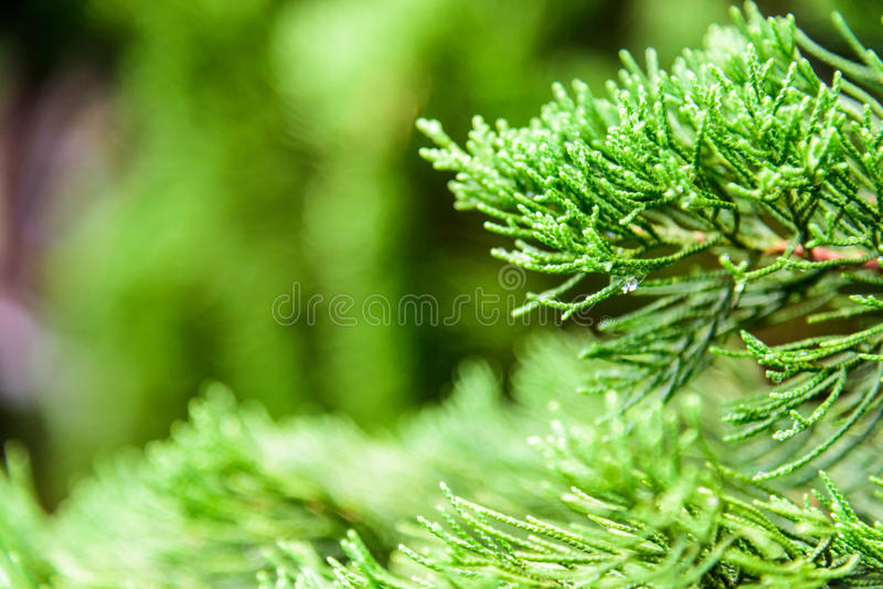The green pine leaves after the rain royalty free stock image