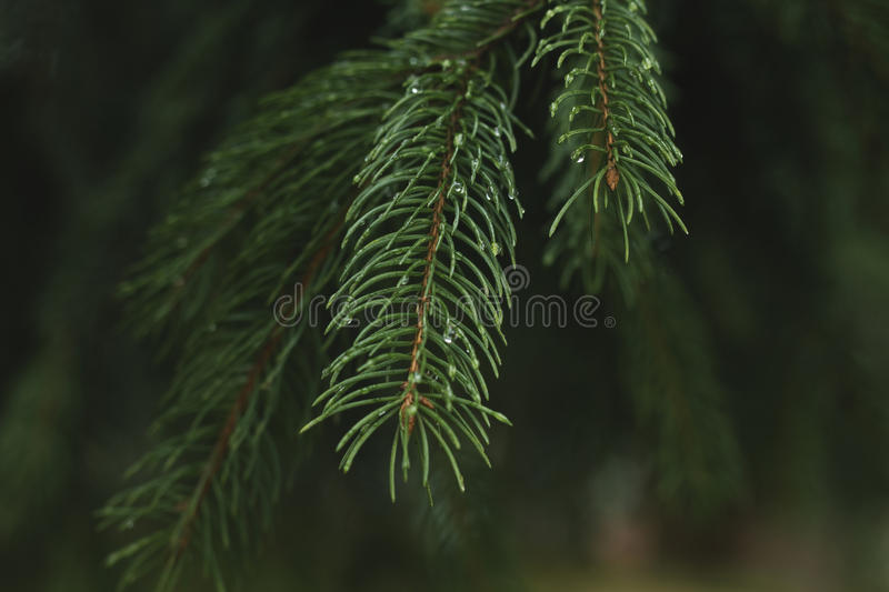 Conifers neddles. Green pine neddles close up royalty free stock images