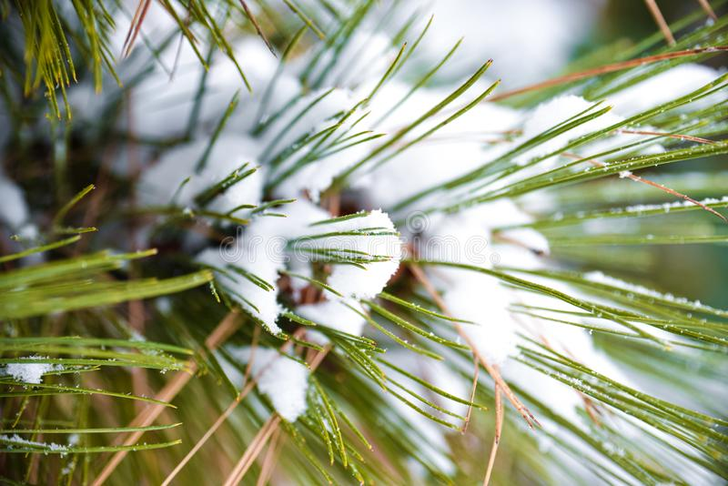 Green Pine Needle Leaf Covered In White Snow After A Winter Snow Storm At A Farmland In Spokane, WA, USA royalty free stock photo