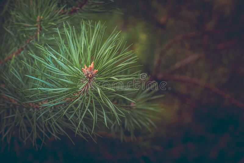 Green Pine Needles At Daytime Free Public Domain Cc0 Image