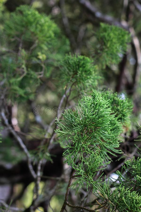 Green pine shoots in the garden. Beautiful green pine shoots in the garden stock images