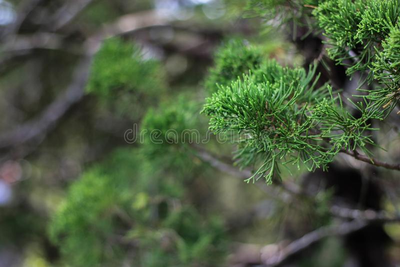 Green pine shoots in the garden. Beautiful green pine shoots in the garden stock photography
