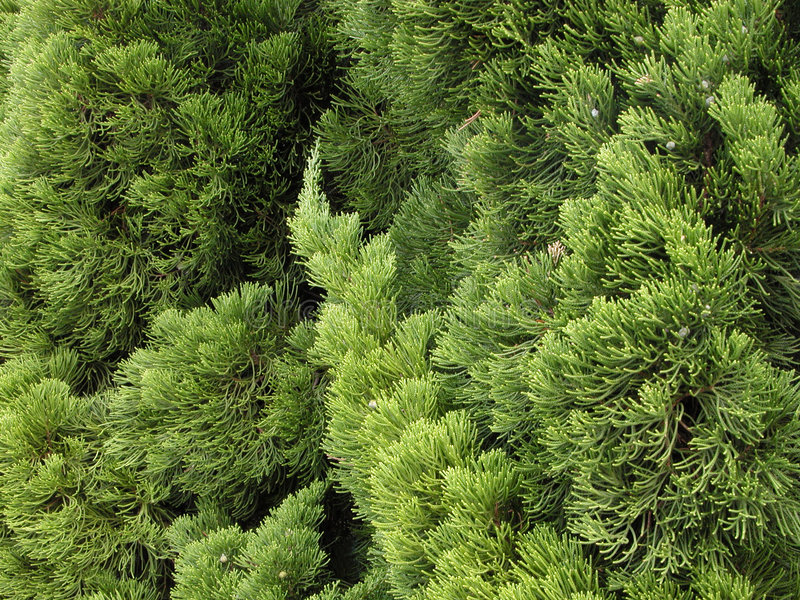 Green pine texture stock image