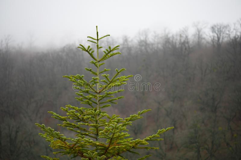 Green pine tree Azerbaijan . Fresh fir branch in sunshine. Spruce branches. Spruce in the forest on a sunny day. The Christmas tree stock image