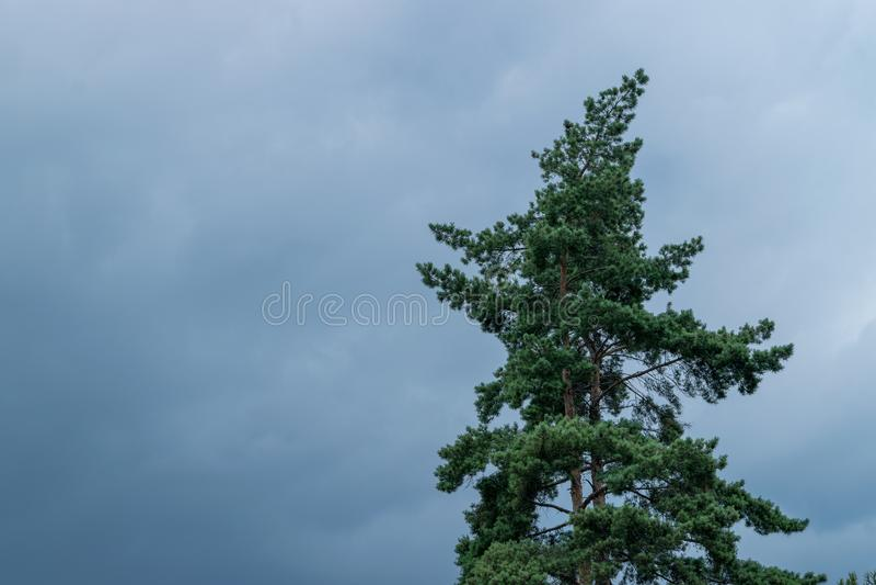 A green pine tree beneath a blue sky stock photo