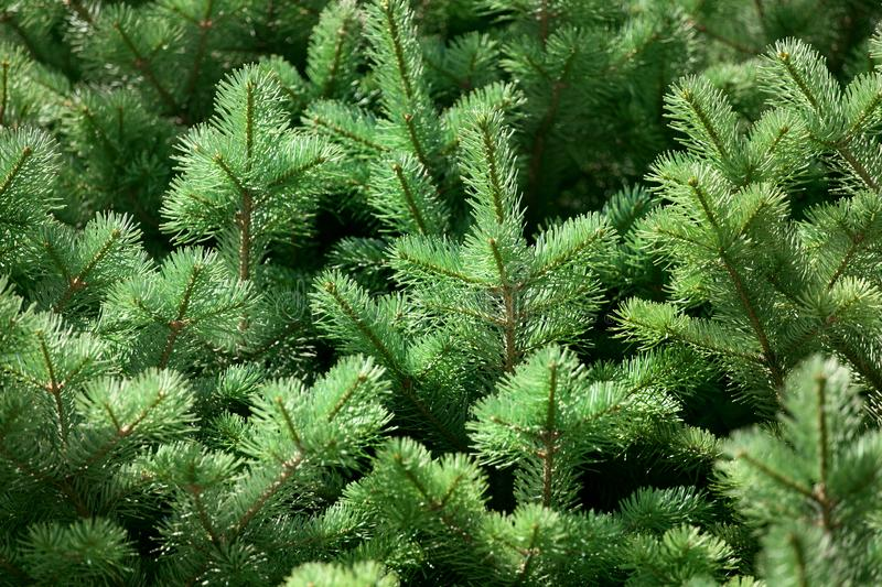 Green pine tree branches background close up, spruce twigs texture, fir branches pattern, coniferous forest natural ornament royalty free stock photography