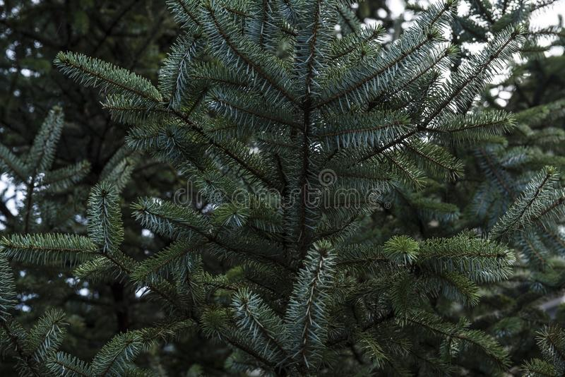 Green Pine Tree Branches With Needles stock photos