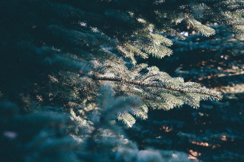 Green Pine Tree in Front of Another Pine Tree during Daytime stock images