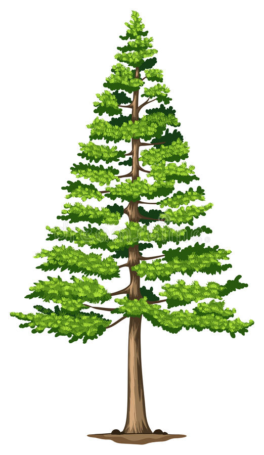 A green pine tree stock illustration