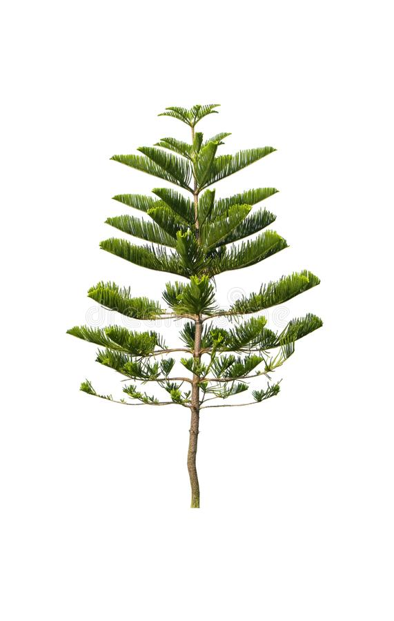 Green pine tree isolated on white background of file with Clipping Path.  stock images