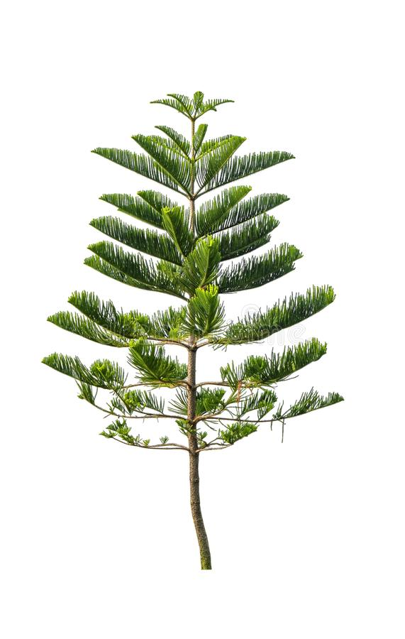 Green pine tree isolated on white background of file with Clipping Path.  stock photo