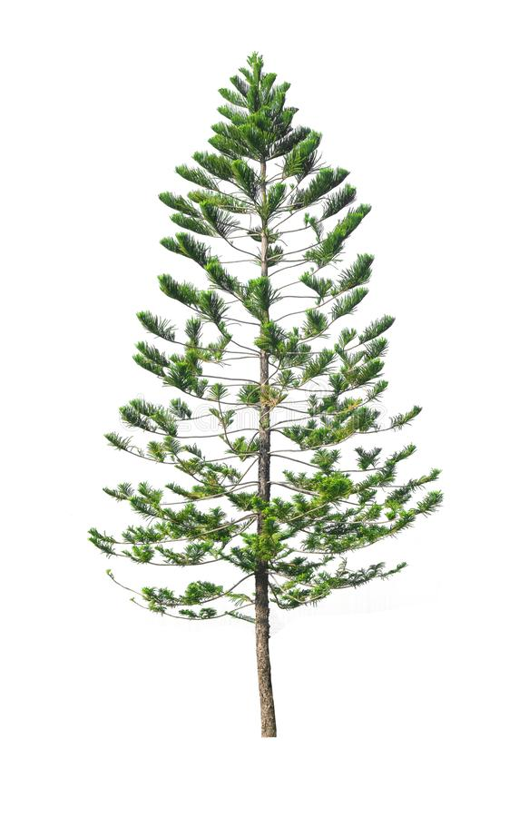 Green pine tree isolated on white background of file with Clipping Path.  royalty free stock images