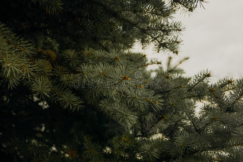 Green Pine Tree Leaves royalty free stock photos