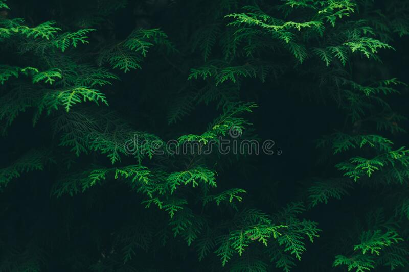 Green Pine Tree Leaves stock photo