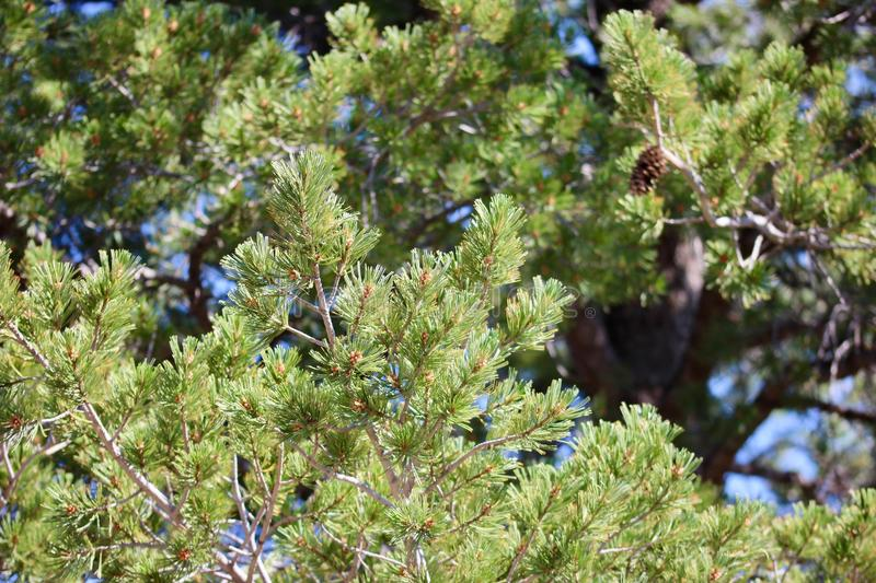 Pine tree macro, background image. Green pine tree macro, background image stock photos