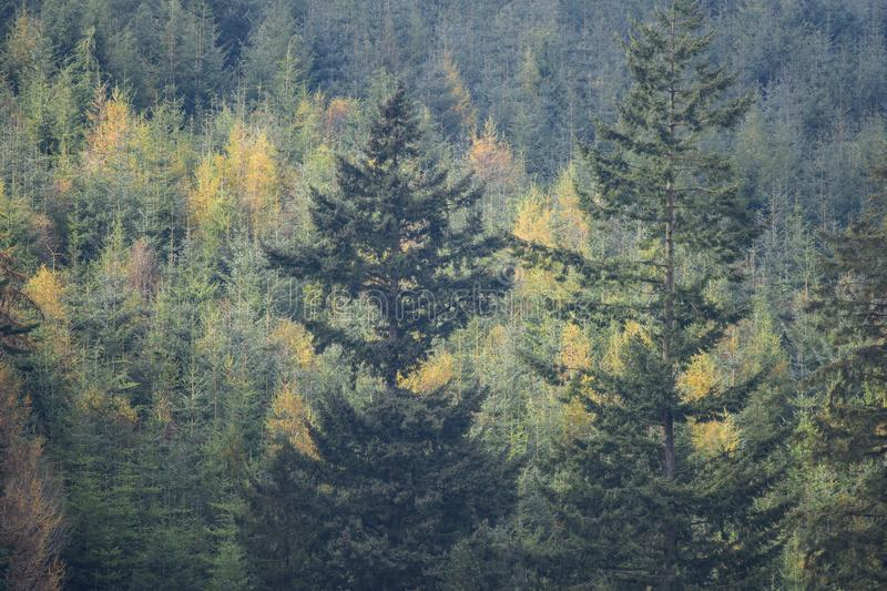 Tree tops in a forest. Green pine tree tops in a forest royalty free stock image