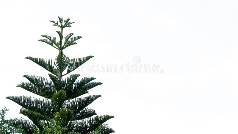Green pine trees that royalty free stock photo