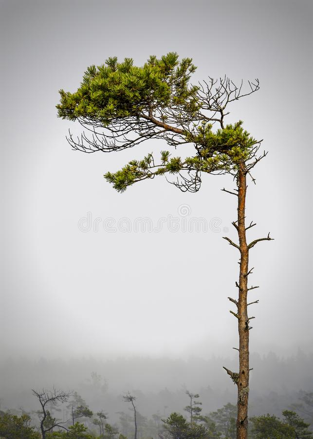 Green pine trees in forest, mist in early summer morning royalty free stock images