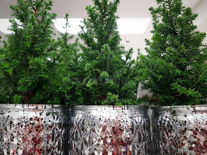 Green pine trees i  silver pots for sale stock photography