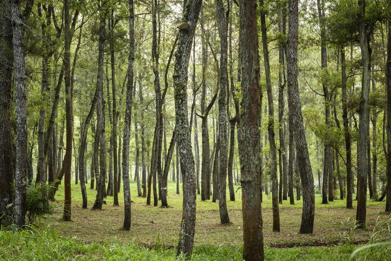 Green pine trees in rain forest stock photos