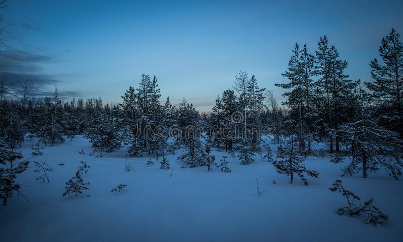Green Pine Trees With Snow Photography royalty free stock photo