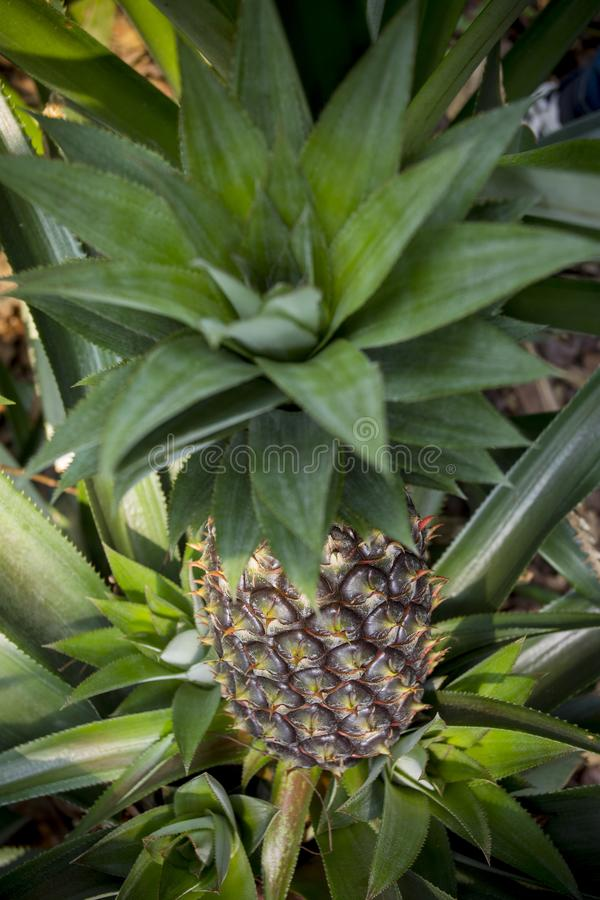 Green Pineapple fruit growing in garden at Madhupur, Tangail, Bangladesh. Pineapple tropical fruit growing in a farm. Green growing pineapple on plantation stock photography