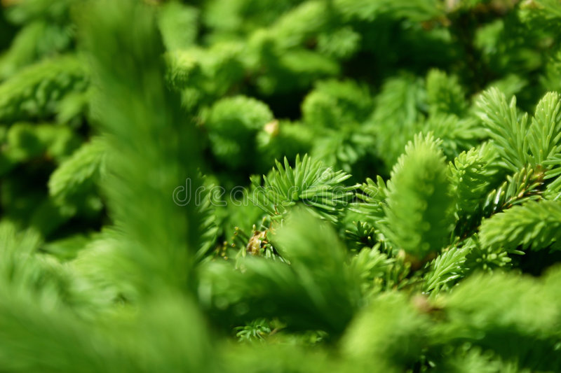 Green Pines stock photo