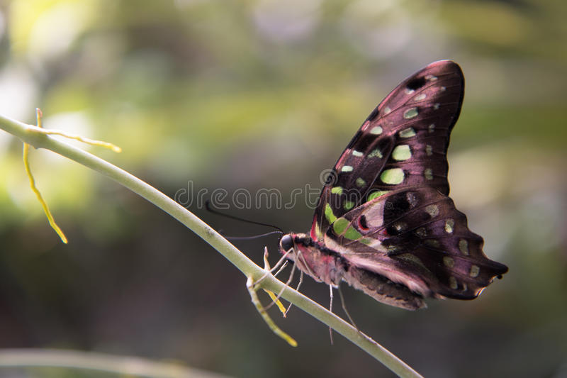 Green, Pink and black butterfly stock images