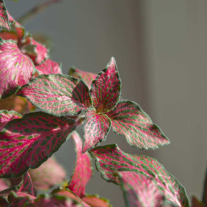 Green-and-pink fittonia foliage close up stock photo