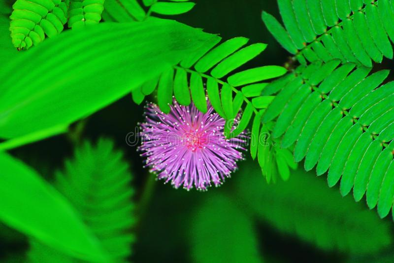Green and pink flower. Wonders of nature royalty free stock image