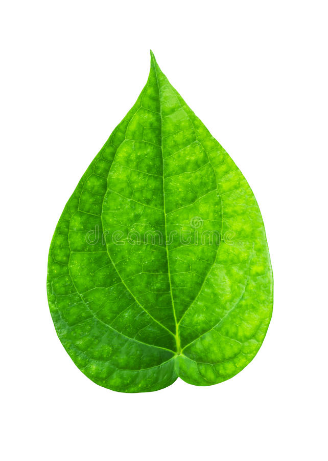Green piper betle leaf. Isolated on white background with clipping path royalty free stock images