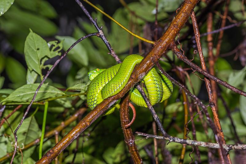 Green Pit Viper or Large-eyed Pitviper royalty free stock photography