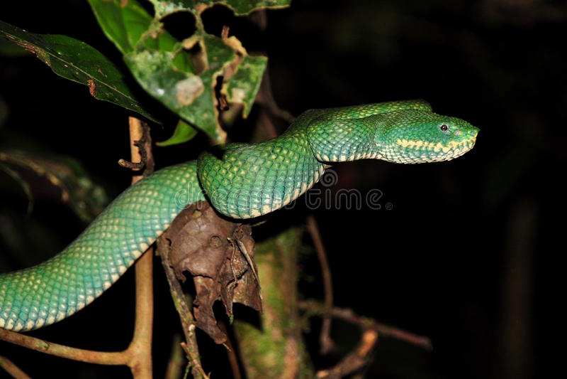 Green pit viper stock image