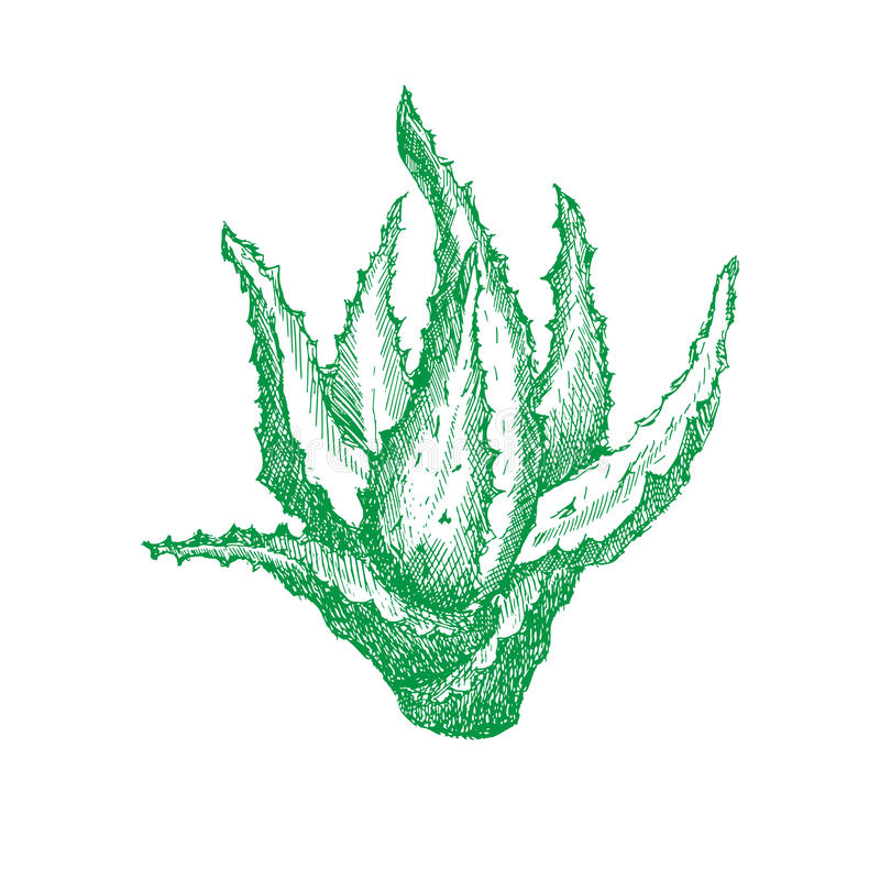 Green plant of aloe vera in shading or engraving, handmade vector illustration royalty free illustration