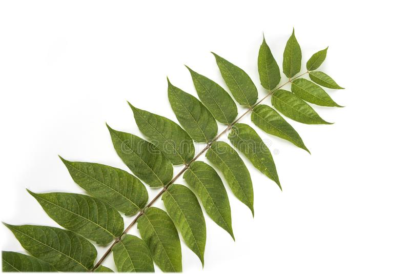 Green plant branch willow leafs stem isolated on a white background. stock photo