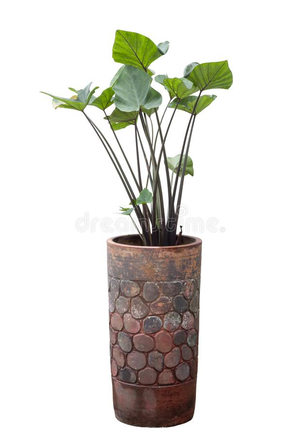 Green plant in pot isolated on white background. royalty free stock photography