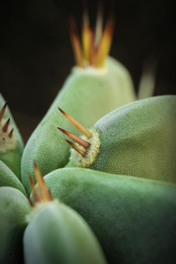 Green plant cactus with thorns macro photo stock images