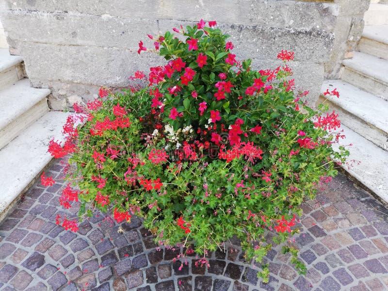 Green Plant  flowers. Plant geranio. Pianta di. Vaso di gerani stock photos
