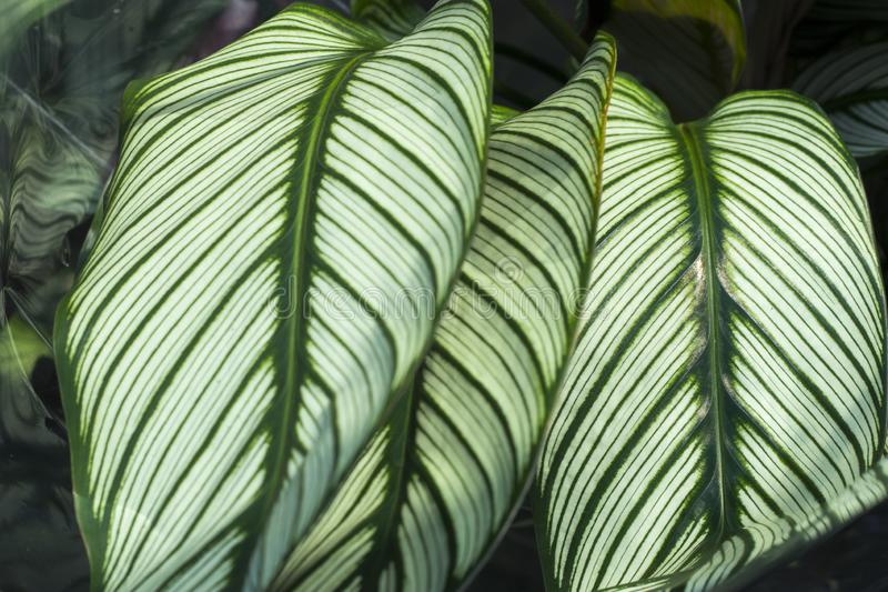 Green plant in the garden. Fresh green and white leaf background Dieffenbachia. royalty free stock photos